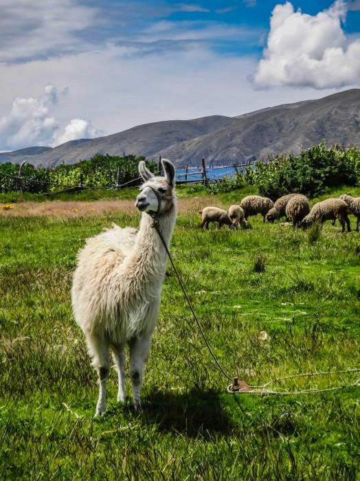Titicaca Lama